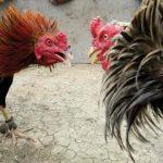 セブ島の熱き戦いチキンファイト(闘鶏)