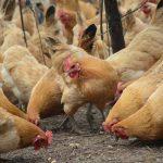 フィリピン・ルソン島で鳥インフルエンザ確認